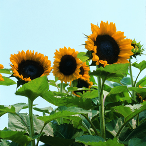 sunflower-300