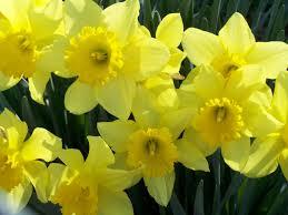 daffodils2015 blog